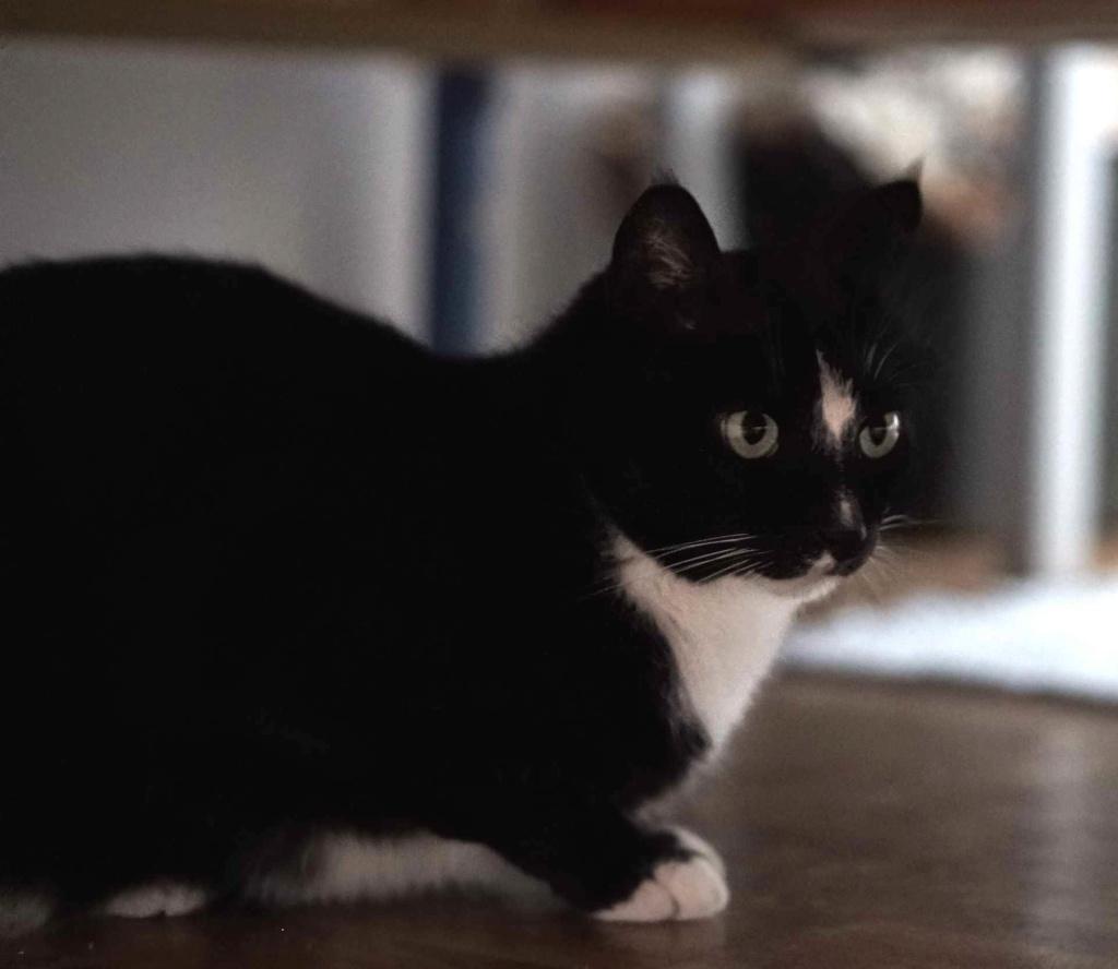 SCOUBI chat européen noir et blanc né en juin 2012  Scoubi13