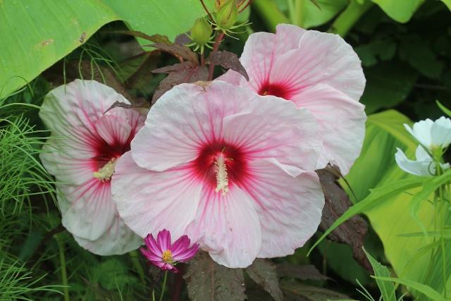 Hibiscus moscheutos - Page 2 Hibisc10