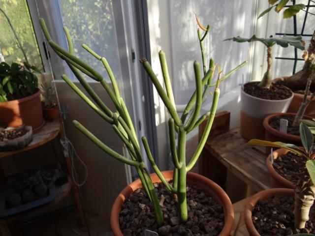 Euphorbia tirucalli Dsc02013