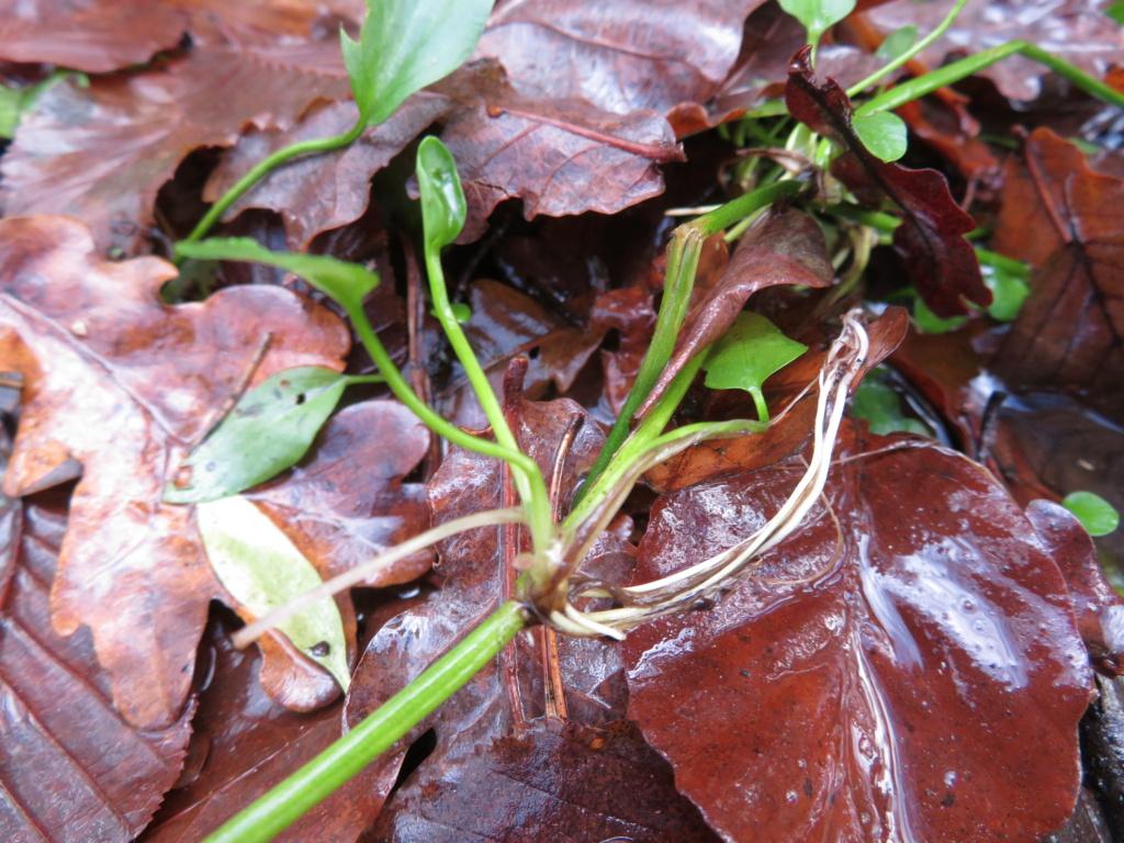 Ranunculaceae étang des Maffrais (35) :  Ranunculus flammula + ophioglossifolius Ranunc10