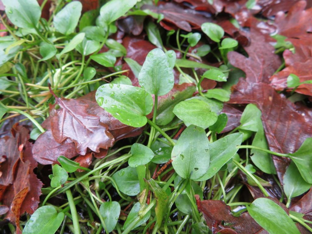 Ranunculaceae étang des Maffrais (35) :  Ranunculus flammula + ophioglossifolius Ranunc11