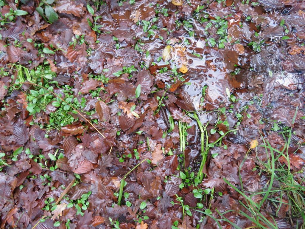 Ranunculaceae étang des Maffrais (35) :  Ranunculus flammula + ophioglossifolius Ranunc15