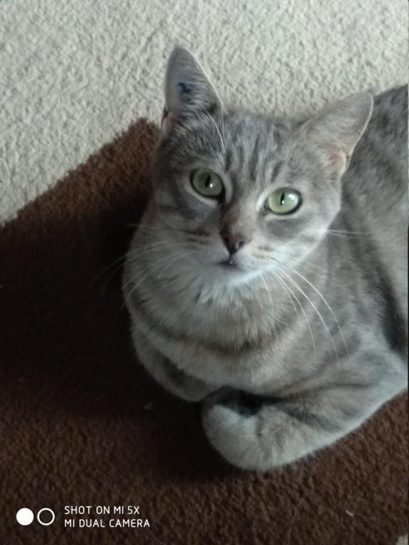 Mousseline, Femelle Gris rayée beige, Type Européen, née en Juin 2016 Img_2010