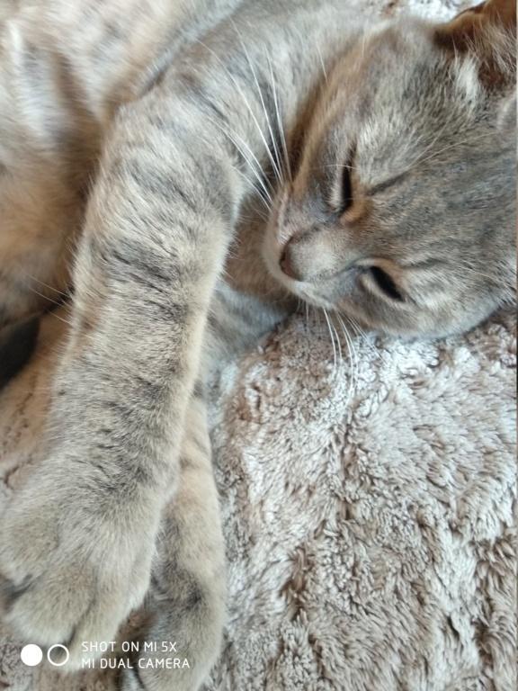 Mousseline, Femelle Gris rayée beige, Type Européen, née en Juin 2016 Img_2012