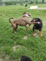 KENZA - femelle Rottweiler de grande taille, née environ en février 2010 (PASCANI) - REMEMBER ME LAND - ADOPTEE PAR LAURENCE (58) - Page 2 Inboun20