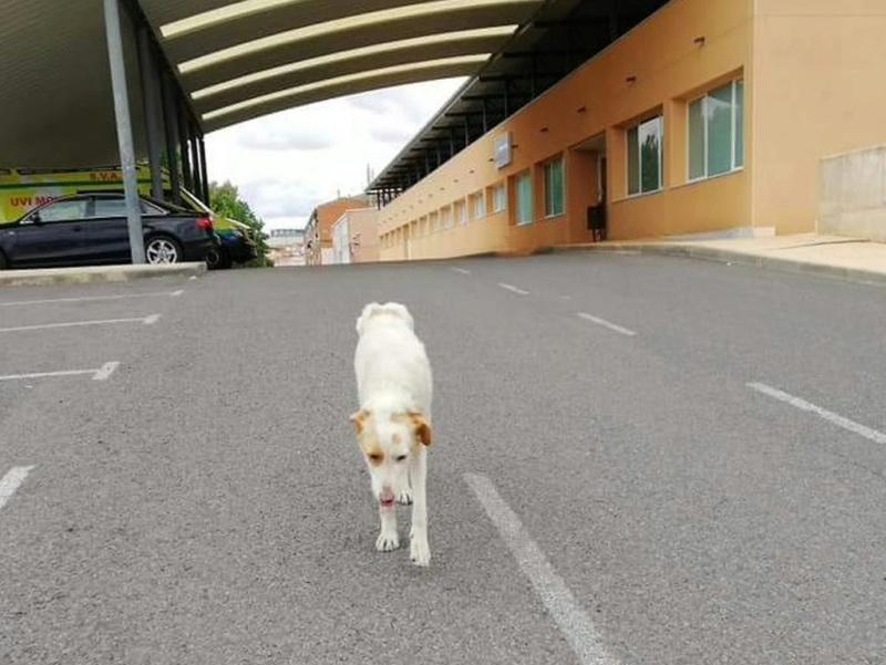 ABBY -  x podenco 3 ans -Asso Une Histoire de Galgos (Espagne) 339