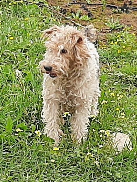 MARTIN - fox terrier 1 an - Une Histoire de Galgos - Extramadire (Espagne) 55782510