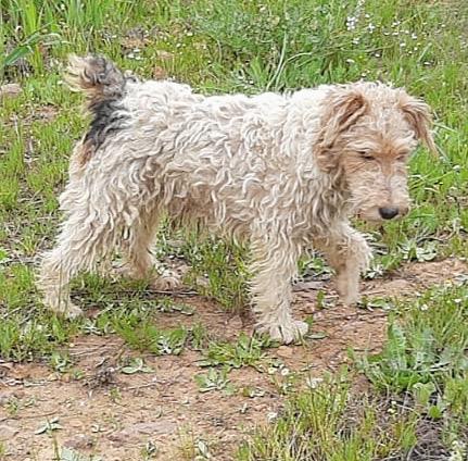 MARTIN - fox terrier 1 an - Une Histoire de Galgos - Extramadire (Espagne) 5f302110