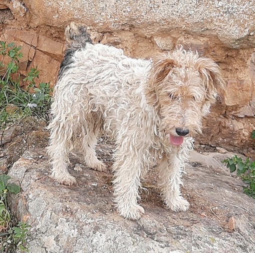 MARTIN - fox terrier 1 an - Une Histoire de Galgos - Extramadire (Espagne) 5fe95f10