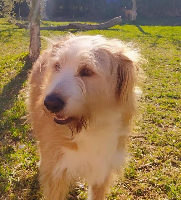 MIKI - berger australien 4 ans - Asso Une Histoire de Galgos - Extramadure (Espagne) Ac26fa10