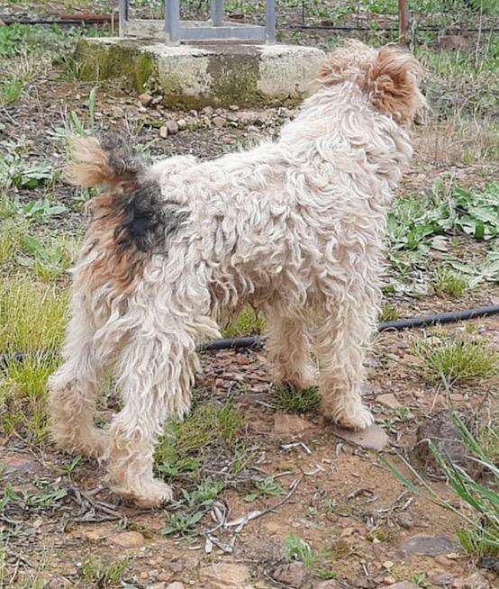 MARTIN - fox terrier 1 an - Une Histoire de Galgos - Extramadire (Espagne) Bfc72a10