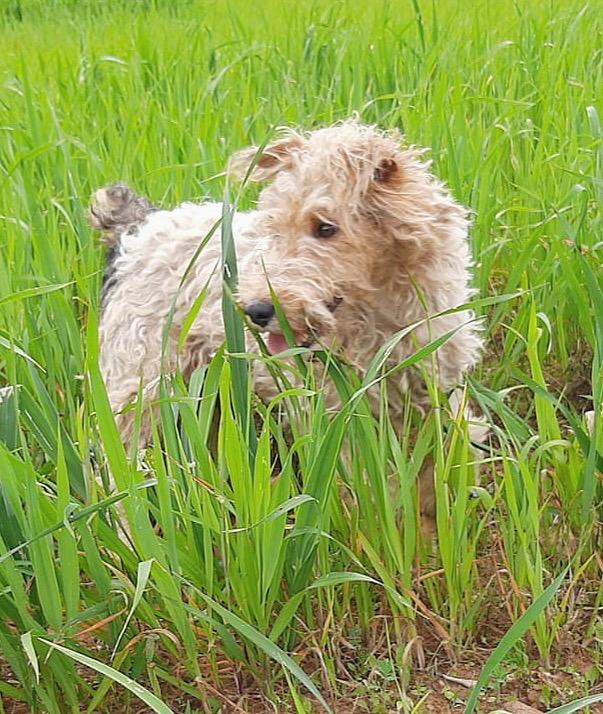 MARTIN - fox terrier 1 an - Une Histoire de Galgos - Extramadire (Espagne) Dee2b710