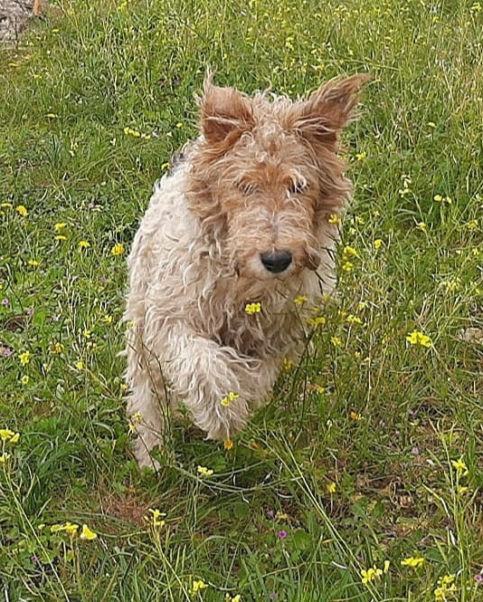 MARTIN - fox terrier 1 an - Une Histoire de Galgos - Extramadire (Espagne) F997c510