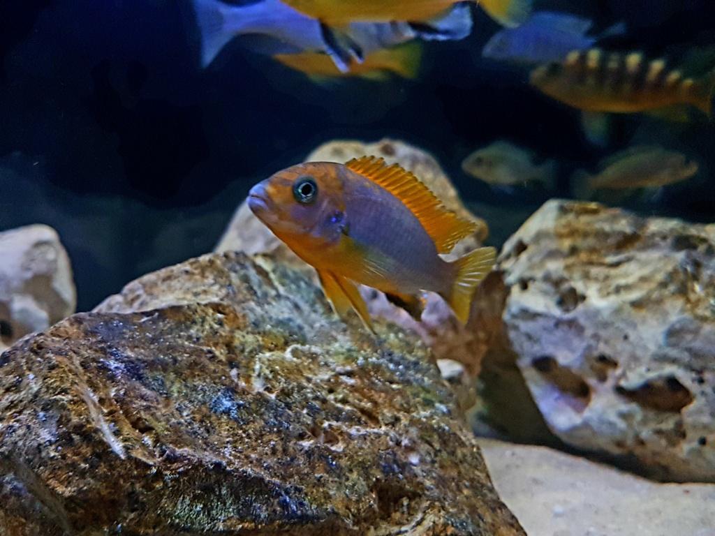 Labidochromis sp. Hongi 20180920