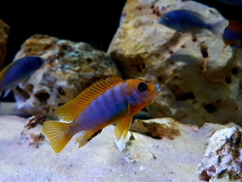 Labidochromis sp. Hongi 20180921