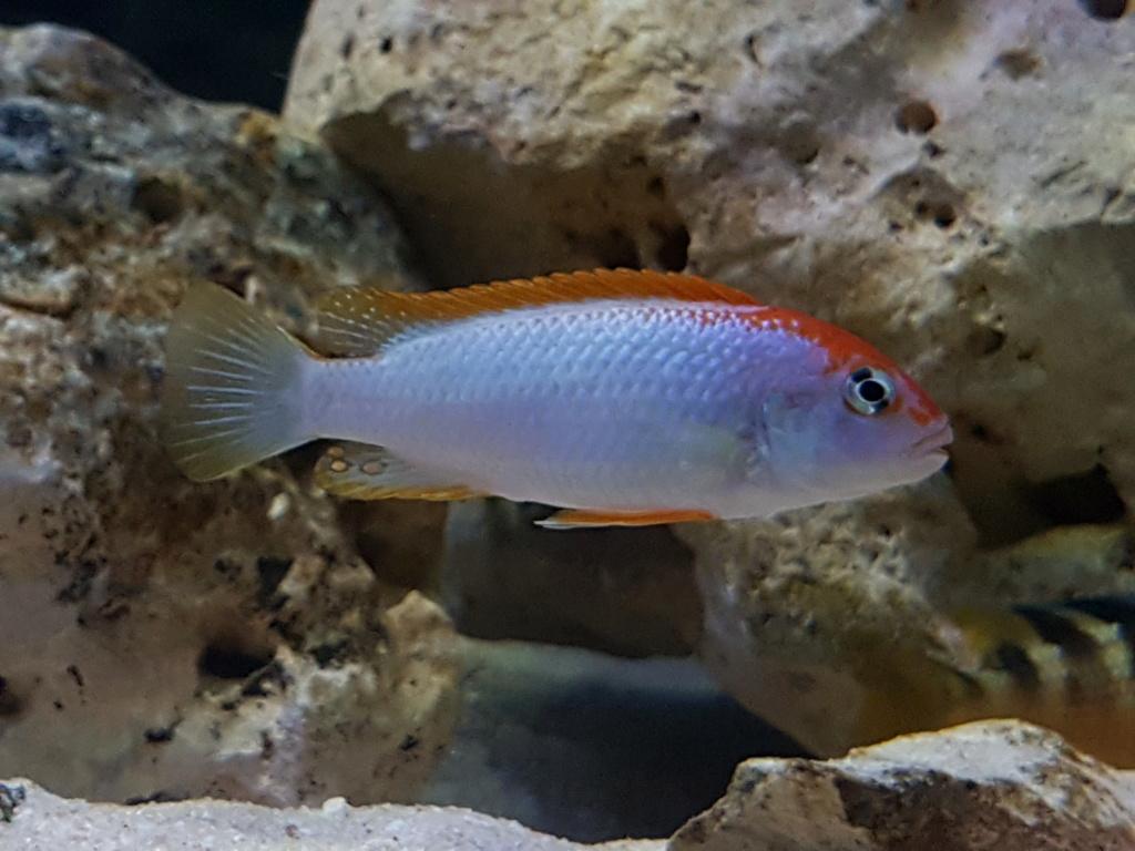 Pseudotropheus sp. red top ndumbi 20180925