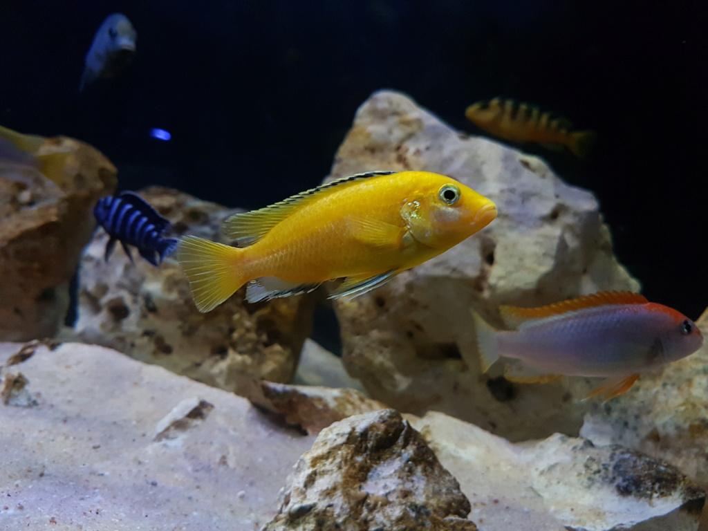 Labidochromis caeruleus (Fryer, 1956) - Página 2 20180930