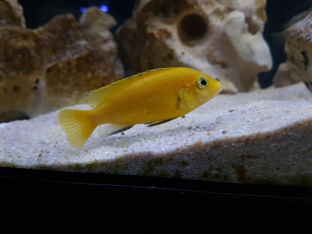Labidochromis caeruleus (Fryer, 1956) - Página 2 20180946