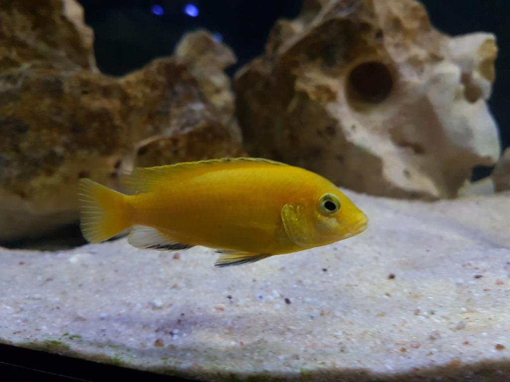 Labidochromis caeruleus (Fryer, 1956) - Página 2 20180948