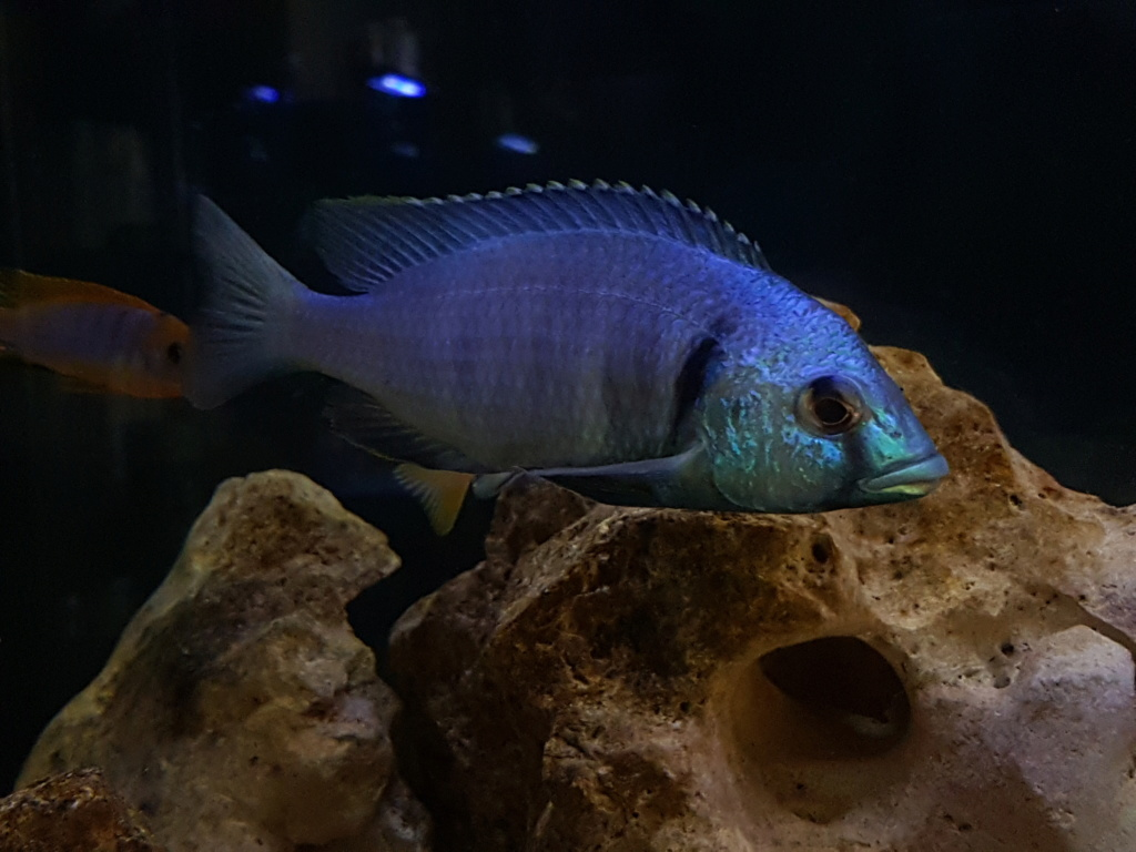 Placidochromis electra 20180952