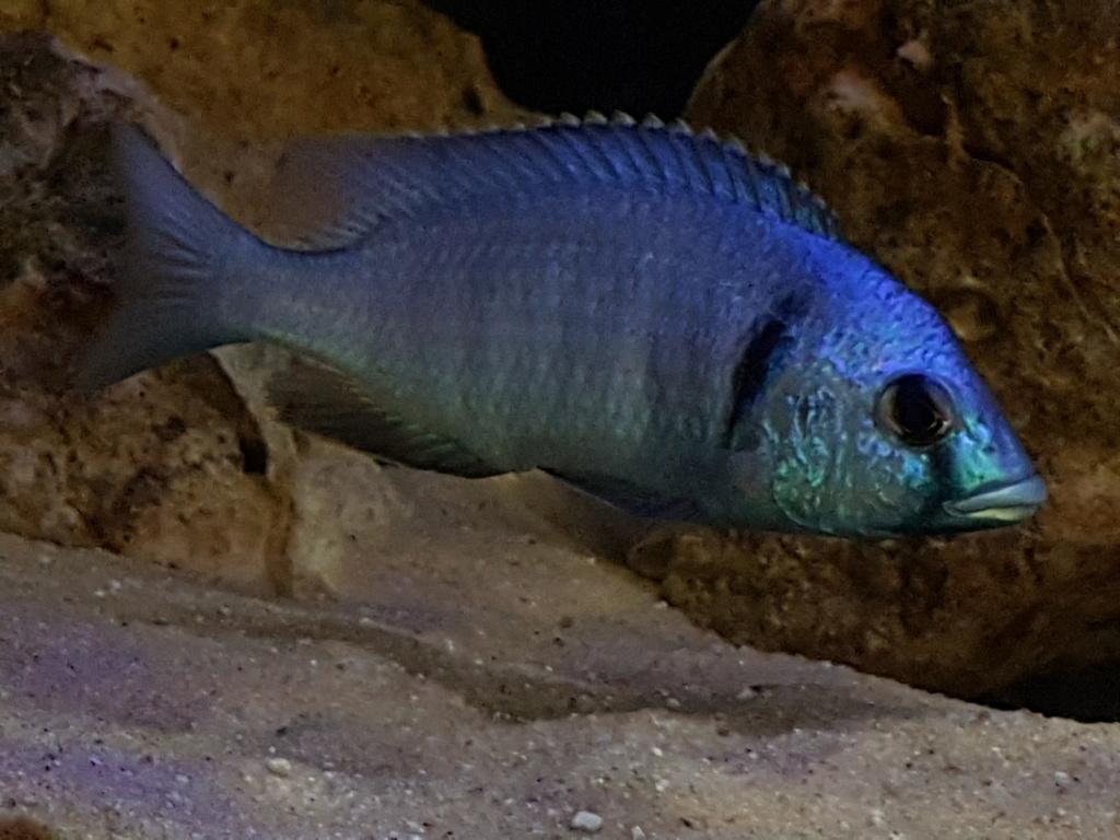 Placidochromis electra 20180954