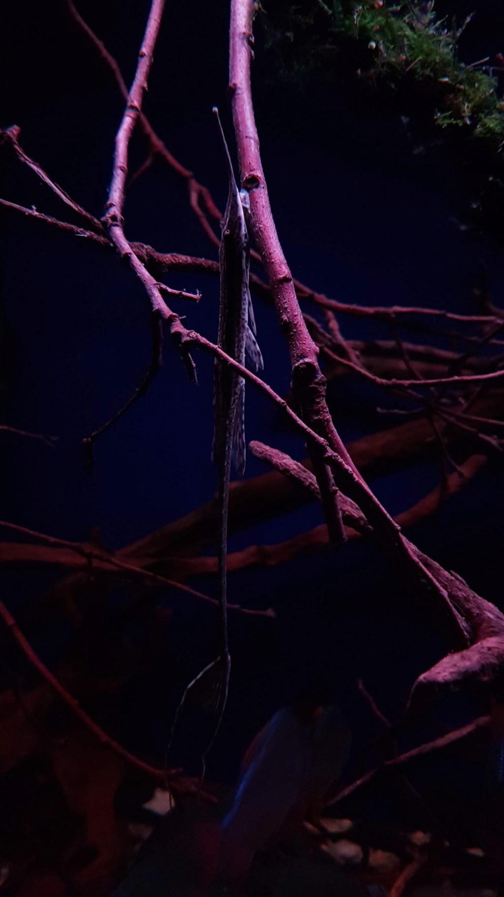 Farlowella platorynchus  - Retzer & Page, 1997 - Pez gato varilla -  20181027