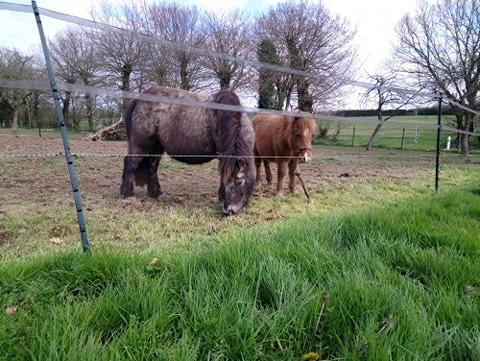 JAKADI - poulain shetland - 6-8 mois (maman Aspie) 90356610
