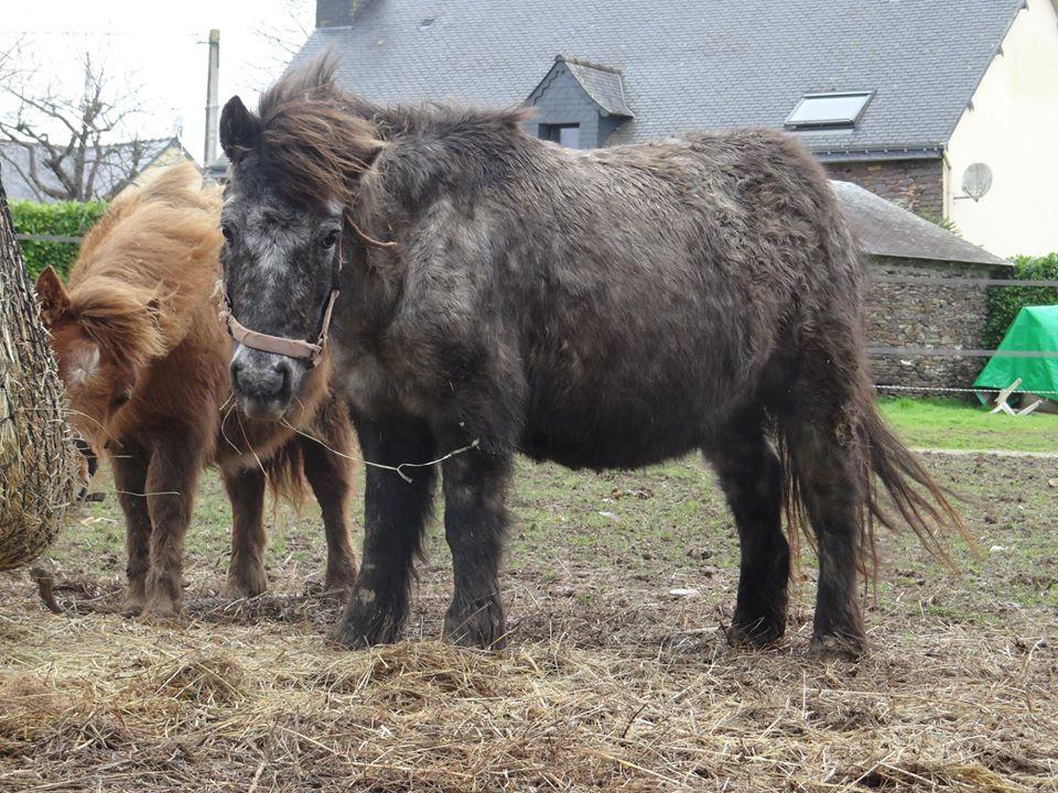 ASPIE - shetland grise - 10 ans  Aspie_10
