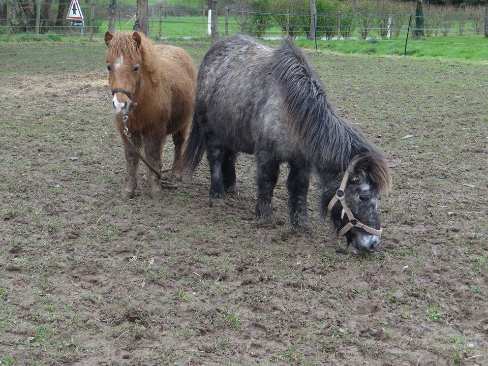 ASPIE - shetland grise - 10 ans  Aspie_11