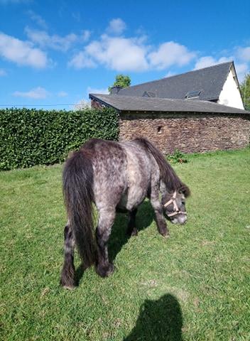 ASPIE - shetland grise - 10 ans  Aspie_12