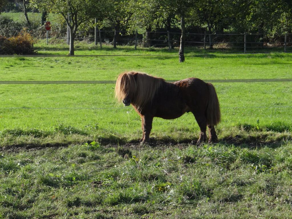 RUBIS DE LA LOGE - shetland PP mâle - 14 ans  Dsc00218