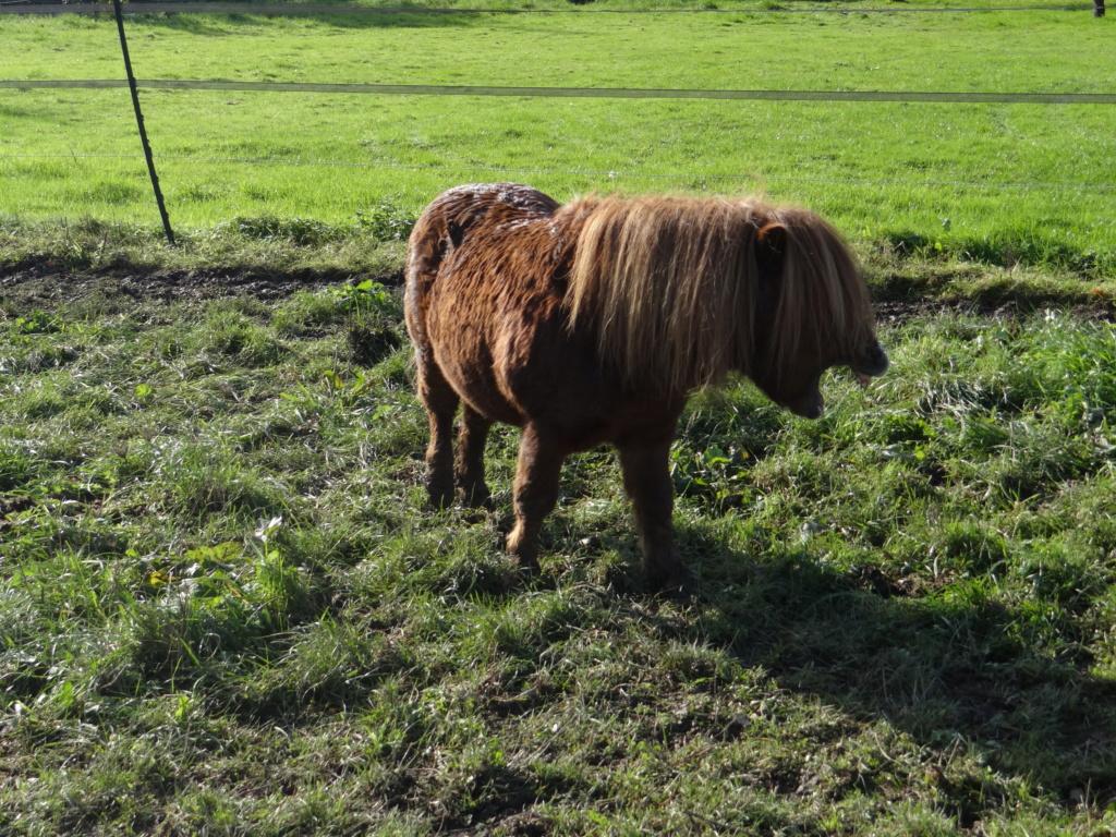 RUBIS DE LA LOGE - shetland PP mâle - 14 ans  Dsc00219