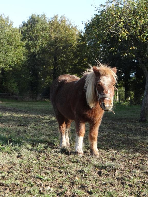 LOLITA - shetland alezane - 20 ans  Dsc00225