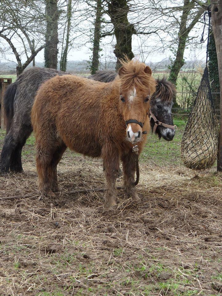 JAKADI - poulain shetland - 6-8 mois (maman Aspie) Jakadi12