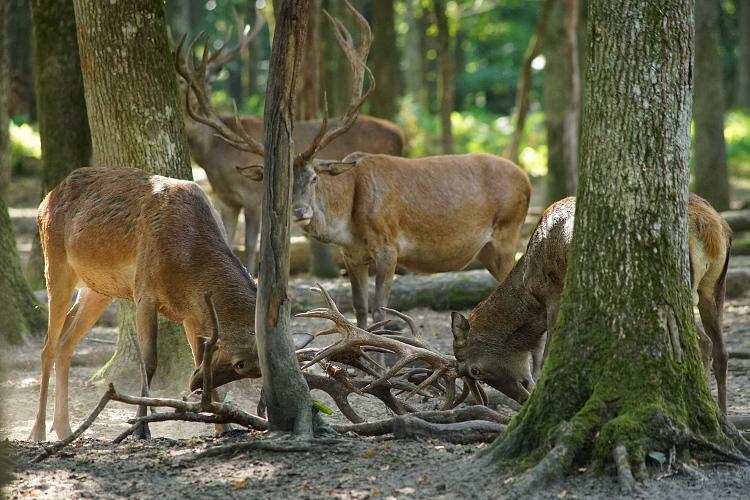 Une semaine avec les cerfs et les daims de Boutissaint Boutis25