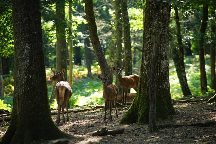 Une semaine avec les cerfs et les daims de Boutissaint Boutis28