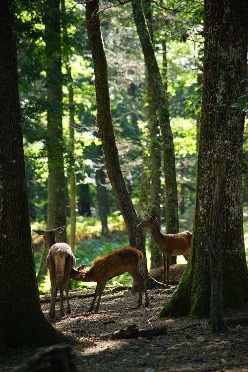 Une semaine avec les cerfs et les daims de Boutissaint Boutis29
