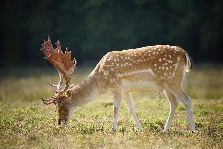 Une semaine avec les cerfs et les daims de Boutissaint Boutis44