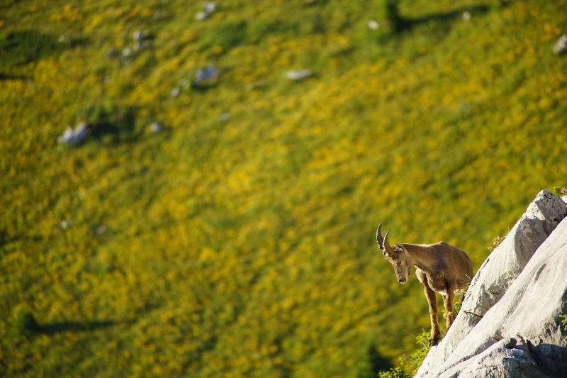 Quelques visions en nature - Cache cache avec les marmottes -  12/07 Dsc08010