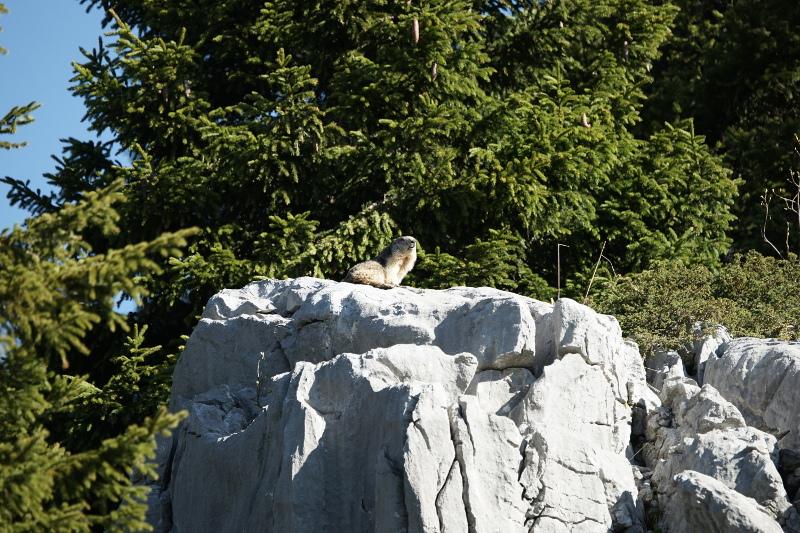 Quelques visions en nature - Cache cache avec les marmottes -  12/07 - Page 2 Marmot10