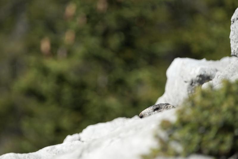 Quelques visions en nature - Cache cache avec les marmottes -  12/07 - Page 2 Marmot11