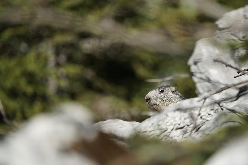 Quelques visions en nature - Cache cache avec les marmottes -  12/07 - Page 2 Marmot12