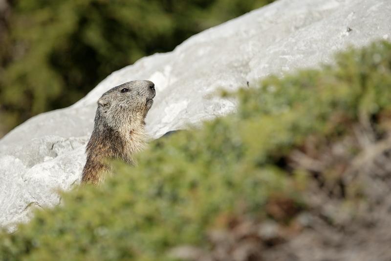 Quelques visions en nature - Cache cache avec les marmottes -  12/07 - Page 2 Marmot13
