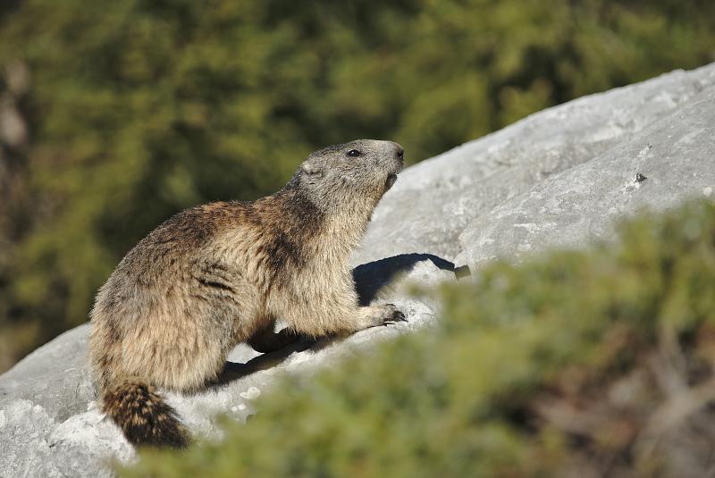 Quelques visions en nature - Cache cache avec les marmottes -  12/07 - Page 2 Marmot14