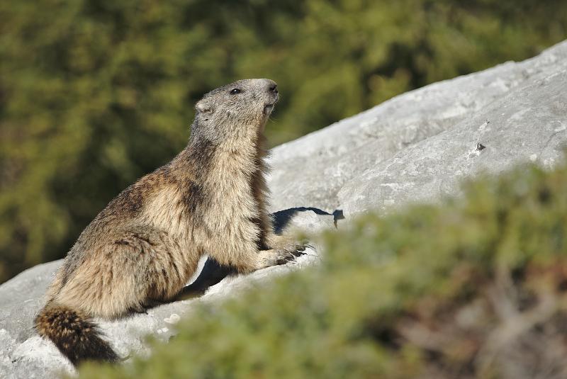 Quelques visions en nature - Cache cache avec les marmottes -  12/07 - Page 2 Marmot15