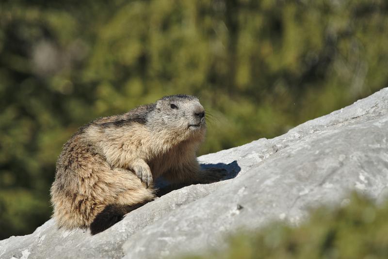 Quelques visions en nature - Cache cache avec les marmottes -  12/07 - Page 2 Marmot17