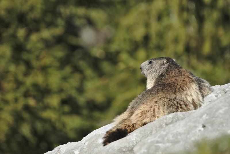 Quelques visions en nature - Cache cache avec les marmottes -  12/07 - Page 2 Marmot18