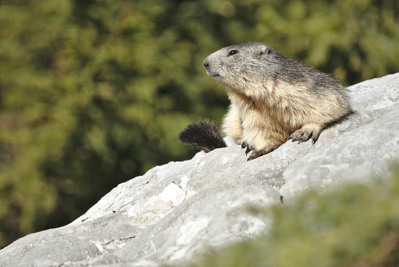 Quelques visions en nature - Cache cache avec les marmottes -  12/07 - Page 2 Marmot19