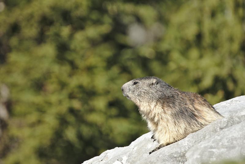 Quelques visions en nature - Cache cache avec les marmottes -  12/07 - Page 2 Marmot20