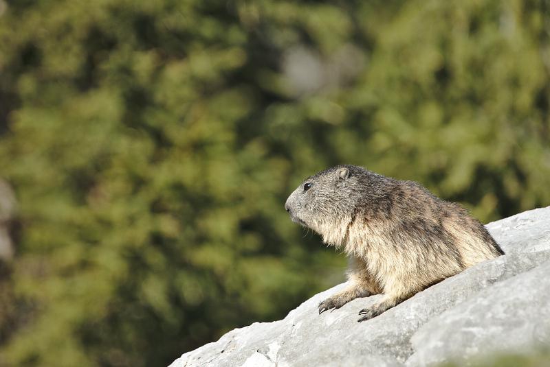Quelques visions en nature - Cache cache avec les marmottes -  12/07 - Page 2 Marmot21
